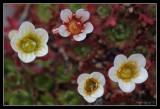 Longyearbyen Flower