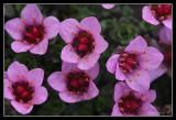 Purple Saxifraga