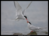 Arctic Tern courtship