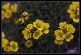 Tundra flowers