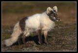 Arctic fox, between winter and summer