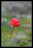 Cloudberry, Dalarna