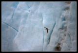 Fulmar and glacier