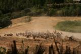 Voltors al menjador Vallderoures - Buitres leonados en la estación de alimentación de Vallderrobres