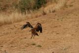 Voltor aterrant al canyet-observatori de Vallderoures