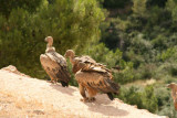 Voltors a Vallderoures - Buitres en Vallderrobres - Griffon Vultures (Gyps fulvus) in the vulture feeding station