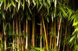 pauling bamboo.jpg