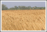 The Reed fields of East Anglia!