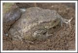 Common Toad - Bufo bufo