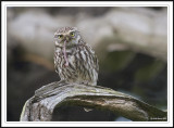 Little Owl with food for chick- Athene noctua