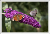 The complete Peacock Butterfly!