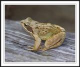 Common frog -  Rana temporaria