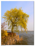 april  1st: Willow in Wind