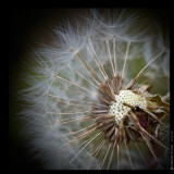 June 11th: Dandelion Fluff