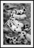 101 dalmatiens(Version cochons)