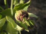 hellébore fétide Helleborus foetidus