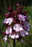 orchis pourpre Orchis purpurea