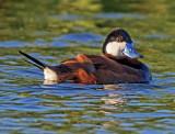 Ruddy duck, Sedona Wetlands Preserve, Sedona, AZ