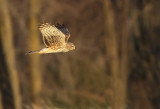 Busard Saint-Martin (Northern Harrier)