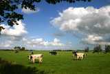 Noordhorn cows