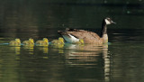 Canada Goose, with chicks