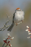Chipping Sparrow, male