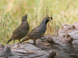 California Quail, pair