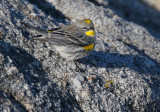 Yellow-rumped Warbler, Audubon's, playing shorebird