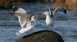 California Gulls, fighting