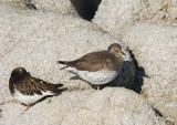 Surfbird and Black Turnstone