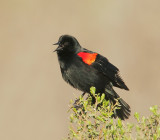 Red-winged Blackbird, bicolored male