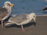 Query -- Gull ID