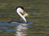 Clark's Grebe, with fish