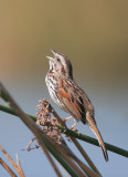 Song Sparrow, male singing