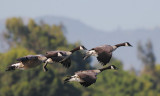 Canada Geese, flying