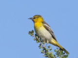 Bullock's Oriole, first year male