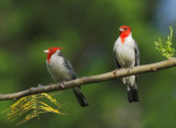 Red-crested Cardinals