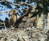 Cooper's Hawks, adult and nestling