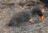 Common Moorhen, chick wing spur detail