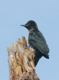 Birds -- Yuba Pass and Sierra Valley, June 2007