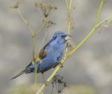 Blue Grosbeaks