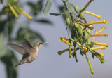 Black-chinned Hummingbird, juvenile male