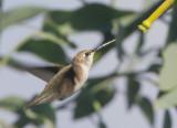 Black-chinned Hummingbird, profile