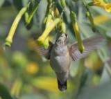 Black-chinned Hummingbird, front