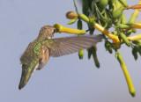 Black-chinned Hummingbird. rear angle