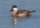 Ruddy Duck, male, nonbreeding plumage