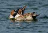 Northern Pintails, males fighting 2