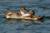 Northern  Pintails, males fighting 3