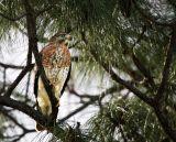 Hawk Awaits