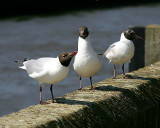 Black Headed Gulls - Mugging